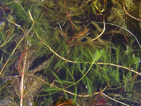 Myriophyllum Spicatum (eurasian Watermilfoil) Go Botany
