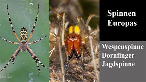 spinnen europas wespenspinne dornfinger jagdspinne