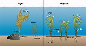 Seagrass And Seagrass Beds