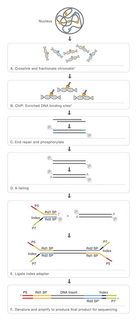 Illumina Sequencing Protocol by Chromatin Immunoprecipitation Sequencing Chip Seq
