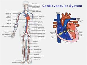How Cardiovascular System Labeled Can