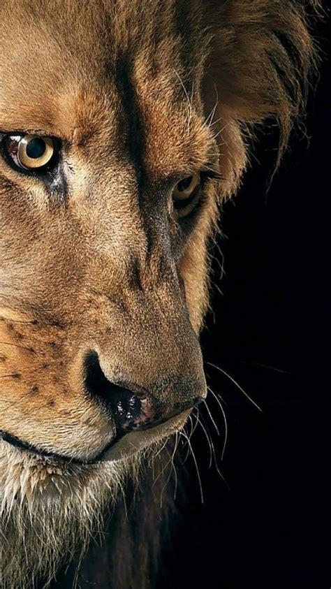 animals lions wild animal lion wallpaper