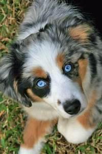 Blue Merle Mini Aussie... Must Have