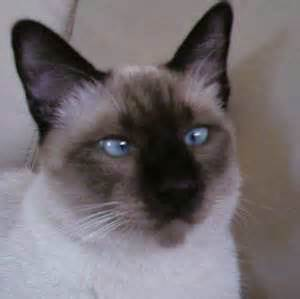 types of siamese cats how to tell the types of siamese cat apart