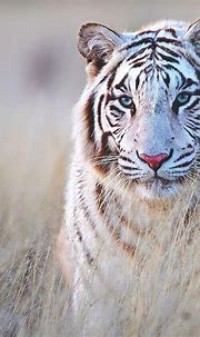 Outstanding 25 Best White Tiger Photographic https ...