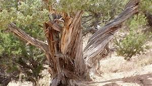 Cedar Tree Disease