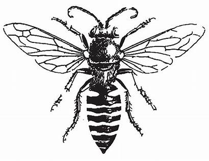Bee Drawing Honey Tattoo Clipart Bees Drawings