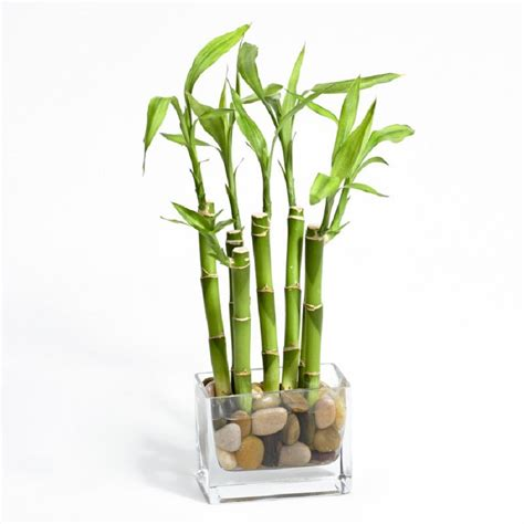 bambu in vaso 07 plantas para atrair energias positivas e afastar a