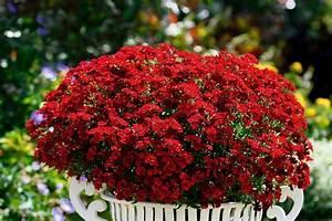 Blumen Lange Blütezeit : elfenspiegel im garten f r sattes rot ~ Michelbontemps.com Haus und Dekorationen