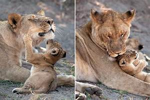 Playful lion cub is mother's pride and joy as they ...