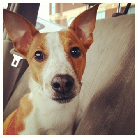 do basenji mixes shed basenji and rat terrier mix breeds picture