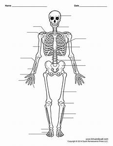 Unlabeled Human Skeleton Diagram   Unlabeled Human Skeleton Diagram Human Skeleton Diagram