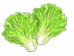 HD Lettuce Leaf Clipart Cdr