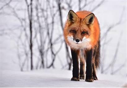 Fox Wallpapers Cool 4k Resolution