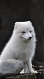 Cutest Arctic Fox Paw