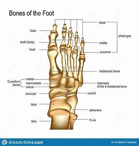 Bones The Of Foot Stock Vector  Illustration Of Healthcare
