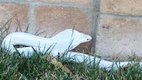 of thousands poisonous cobra alert venomous snake loose in thousand oaks bites dog ktla