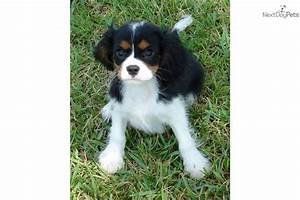 tri color cavalier king charles spaniel