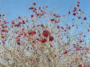 Toronto Wildlife - More Highbush Cranberry