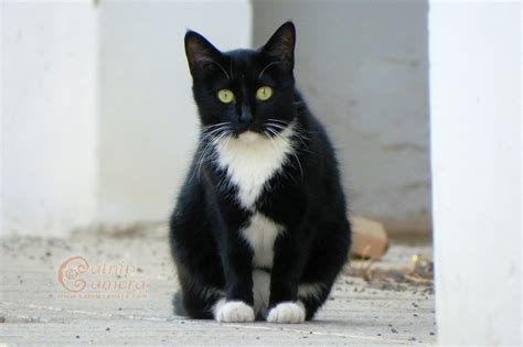 black and white cat black and white cat image wallpapers gallery