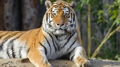 Tiger 4k Tigre Ultra Zoo Sfondo Uhd