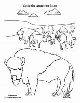 Bison Coloring Herd sketch template