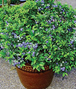 Blueberry, Top Hat Fruit Plants at Burpee.com