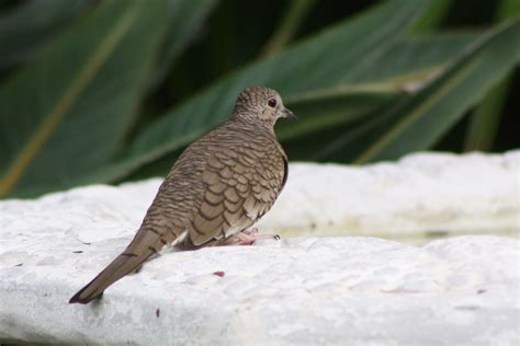 File:Inca Dove, Columbina inca; in South Texas, on ...