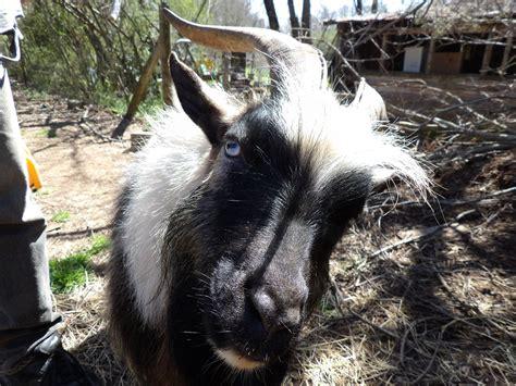 Billy Goat Meme - billy goat meme 1 blank template imgflip