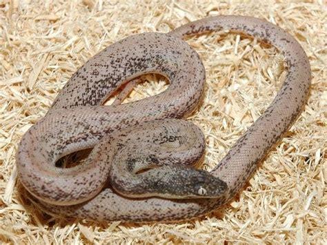 22 best Liasis savuensis or Savu python images on ...