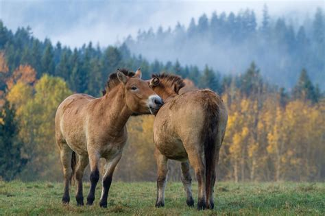 horses przewalski wild last earth bavarian autumn these truly endangered inhabitat slideshow start deviantart innovation