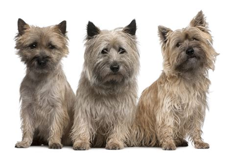 cairn terrier non shedding 100 cairn terrier non shedding small dogs 100 cairn