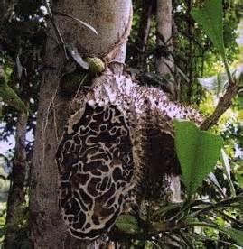 keistimewaan sarang semut papua manfaat sarang semut