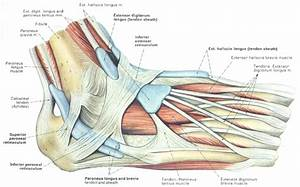 Diagram  Foot Tendons And Ligaments Diagram