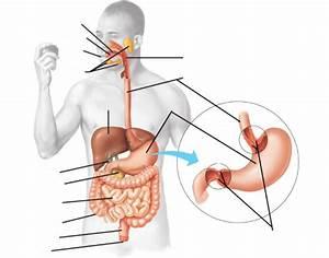 Digestive System Organs Labeled Diagram