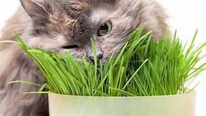 Herbe à Chat : plante herbe chat ~ Melissatoandfro.com Idées de Décoration