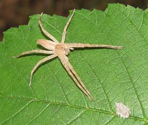 Bug Eric: Spider Sunday: Slender Crab Spiders (and their ...