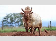 Professional Bull Riders Bigger, faster, stronger