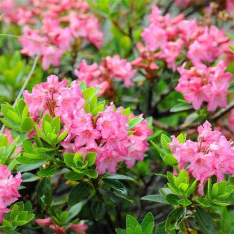 rhododendron planter et tailler ooreka
