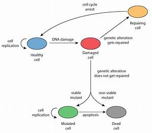 Evolutionary dynamics of mutator phenotypes in cancer ...