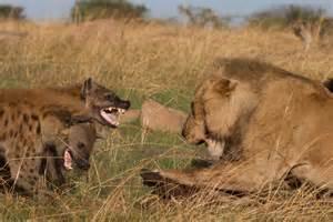 Lion vs Hyena