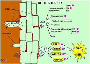 An Ideal Cross Section From Rhizosphere Soil  Left  To Root Cortex