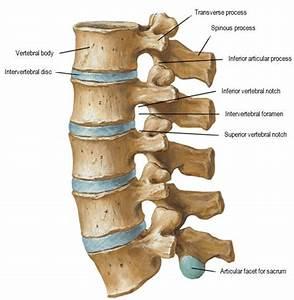 Lumbar Vertebrae Anatomy  Showing Main Ligaments  2