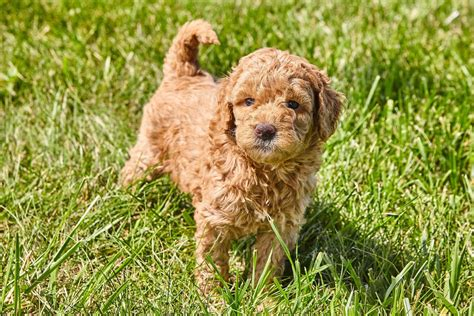 Mini Goldendoodle: A Small And Mighty Teddy Bear Mix