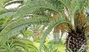 Palmier De Jardin : palmier vari t s plantation entretien conseils plantes ~ Nature-et-papiers.com Idées de Décoration