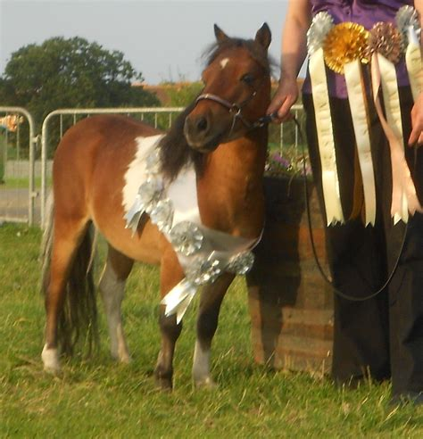 horse miniature champion american bacup pets4homes horses ago years