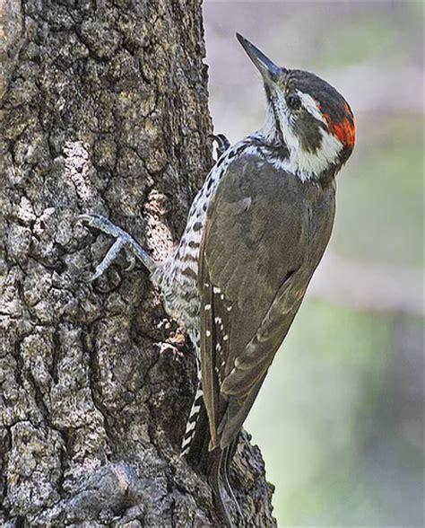 arizona woodpecker ash canyon b b sierra vista az