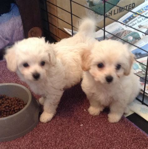 toy poodle  chihuahua puppies ready  weston super