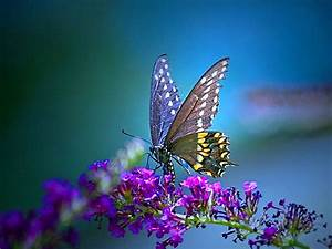 Butterfly Purple Wallpapers #10970 Wallpaper | WallDiskPaper