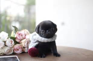 Super Cute Baby Pugs